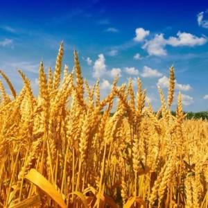 org wheat
